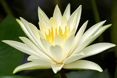 Water Lily Star glowing inside  Stock Images