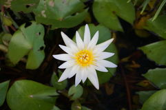 Water lily or star lotus with green leaves royalty free stock image