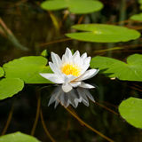 Water lily. In the summer Stock Photography