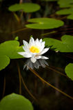 Water lily. In the summer Stock Photo