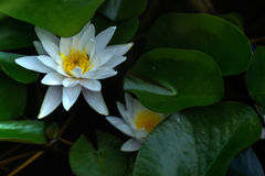 Water lily. Summer garden. Royalty Free Stock Photography