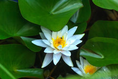 Water lily. Summer garden. Royalty Free Stock Images