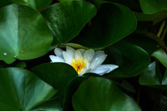 Water lily. Summer garden. Royalty Free Stock Photos