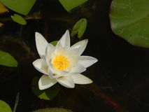 Water lily on a sunny summer day Royalty Free Stock Photography