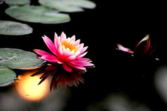 Water lily sunset. A pondlily flower and a bud in the sunset Royalty Free Stock Images