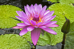 Water lily surrounded by leaves Stock Photo