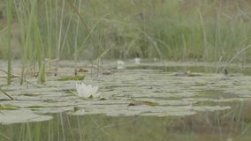 Water lily in swamp. Lotus in nature on natural background. White Lotus in the swamp close up stock footage