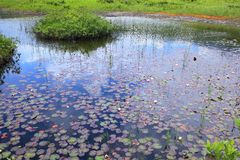 Water lily of swamp Stock Photos