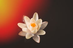 Water lily, tinted photo. Water lily close up, tinted photo Stock Photography