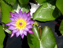Water lily on top view. This photo was taken in Penang botanical garden Stock Images