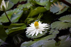 Water lily. Stock Photos