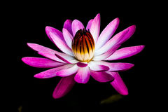 Water Lily. Are tuberous plants, rooted in soil with leaves (lily pads) and flowers floating on the water suface Stock Photo