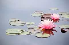 Water lily. Two water lilies blooming in pond Royalty Free Stock Images