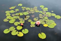 Water lily. Two water lilies blooming in pond Stock Photo