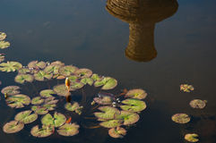 Water lily unblown buds and leaves on pond surface with reflection of stone pitcher lit by warm sunset light Royalty Free Stock Image