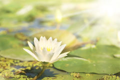 Water Lily under sun rays Royalty Free Stock Images