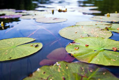 Water Lily V2. Water lilies float in a small pond Royalty Free Stock Images