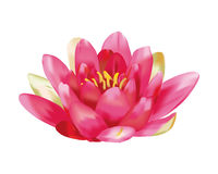 Water lily vector Royalty Free Stock Photography