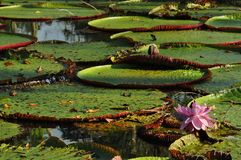 Water lily Victoria amazonica in the Amazon rainforest royalty free stock images