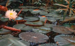 Water lily Victoria amazonica in the pond stock photo