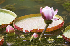 Water Lily Victoria Regia (Amazon). Stock Images
