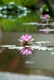Water-lily Stock Photography