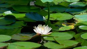 Water lily. View of a water lily in the pond stock footage