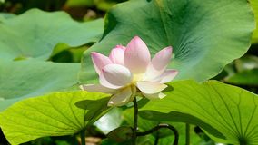 Water lily. View of a water lily in the pond stock video
