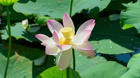 Water lily stock footage