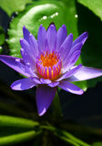 Water lily : violet stock image