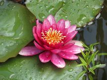 Water lily. Violet water lily in a pond Royalty Free Stock Images