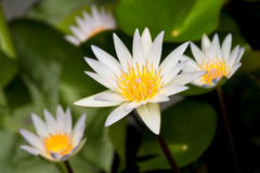 Lotus flowers. Royalty Free Stock Photos
