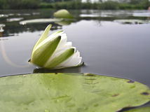 Water lily, water lily (Nymphaea) Stock Photos
