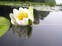 Water lily, water lily (Nymphaea). The amphibious plant. Flowers are up to 12 cm in diameter stock image