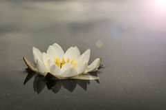 Water lily on the water surface, background Royalty Free Stock Photos