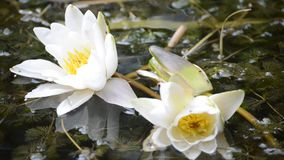 Water lily stock video