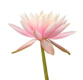 Water Lily on white. – clipping path included Royalty Free Stock Photos