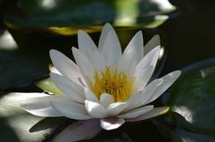 Water Lily, White, Aquatic Plant Stock Image