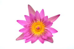 Water-lily. Water lily. on white background stock photography