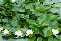 Water lily. The white water lily flowers in green leaves stock photos
