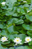 Water lily. The white water lily flowers in green leaves Royalty Free Stock Photo