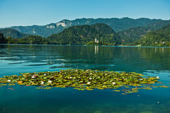 Water lily with white flowers on a lake Bled with church on small island in a background, slovenian Alps Stock Photos