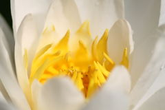 Water lily. White water lily on a lake Royalty Free Stock Photo