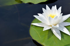 Water Lily. royalty free stock image