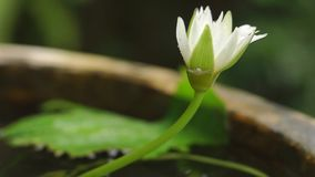 Water lily and white spider. Shot made in Bali stock footage