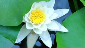 Water Lily white water summer day. Water-Lily Flowers And Leaves On Pond stock footage