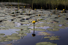 Water lily with yellow flower. Yellow flower sticking straight up from lily pad, reflection Royalty Free Stock Photography