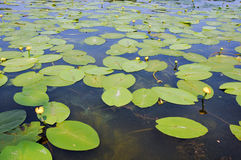 Water lily. Yellow water lilies  with green leaves on shoal water Stock Photos