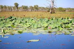 Water Lily at Yellow Water Billabong Stock Photo