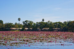 Water lilyes on the lake in Siam Reap Stock Image